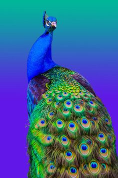India-blue Peacock [Pavo cristatus] - Peacock Fine Art Print