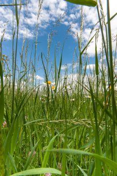 Wiese, Blumen, Margeriten, Klatschmohn, Mohn, Gras, Himmel - Download