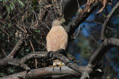 Cooper's Hawk (Accipiter cooperii), photo by James Varnell