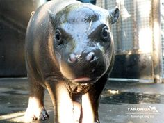 This little pygmy hippos name is Prince Harry. Sho kewt!