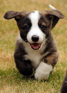"Cardigan Welsh Corgi Puppy: ""Hello Everyone ~ My name is: 'Caesar' ~ Very nice to meet you all."""