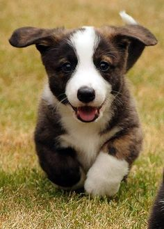 "Cardigan Welsh Corgi Puppy: ""Hello Everyone ~ My name is: 'Caesar' ~ Very nice to meet you all."""