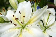 white lily flower Types Of White Flowers, White Lily Flower, White Lilies, Yellow Roses, Wonderful Flowers, Rare Flowers, Flowers Nature, Beautiful Flowers, Lilies Flowers