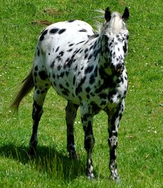leopard appaloosa | How gorgeous is this big leopard appaloosa
