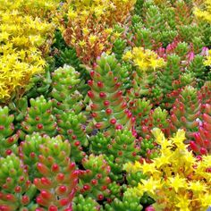 Sedum rubrotinctum - Jelly Bean, Pork and Beans, Brown Bean: Grows easily from pieces when they drop onto the soil. Similar growth habits to the Burrito but turns a lovely red on the tips with exposure to heat or cold. $3.95 (http://mountaincrestgardens.com/sedum-rubrotinctum-jelly-bean-pork-and-beans/)