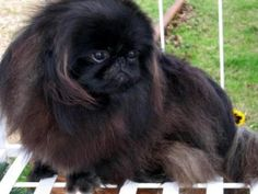 Ryder is the Cutest Black Peke!