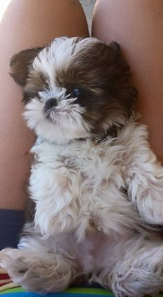 Dogs and puppies shih tzu animals 48 ideas Teddy Bear Puppies, Shitzu Puppies, Cute Dogs And Puppies, Baby Dogs, Doggies, Bichon Frise, Cute Little Animals, Cute Funny Animals, Little Dogs