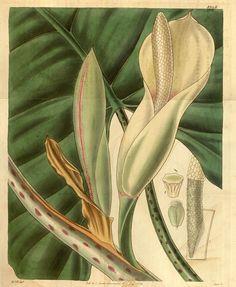 v.61=ser.2:v.8 (1834) [no.3290-3373] - Curtis's botanical magazine. - Biodiversity Heritage Library