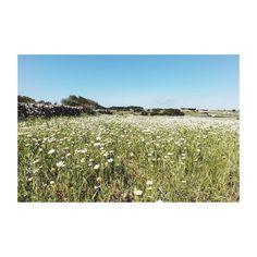 #menorca #baleares #macarella #navetadestudons #ciutadella #igersmenorca #picoftheday #photooftheday #canon6d #35mmf2 #vsco #vscolovers #ig #igers #igersspain #textures #minimal #tree #arbol #verde #greenworld #green #primavera #spring #flowers #margarita #campo #landscape #paisaje #daisy