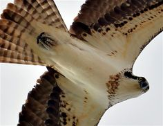 Laralyn Lamont shares this photo of an osprey at the Snake River in Idaho. Click through to vote for your favorite.