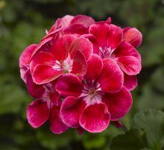 Geranium ~ Tango series 'Deep Rose' Pelargonium