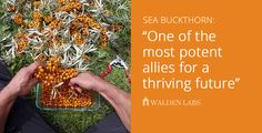 """One of the most potent allies for a thriving future begins to take root in North America."" This video shows not only why seaberry / sea buckthorn (Hippoph"