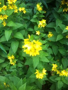 Yellow Loosestrife (lysimachia punctata): Hardy perennial plant that grows 61 centimeters tall or more, almost entirely covered in yellow flowers in summer. Grows well in full or part sun and is said to be deer resistant. Prefers regular water. Will spread.