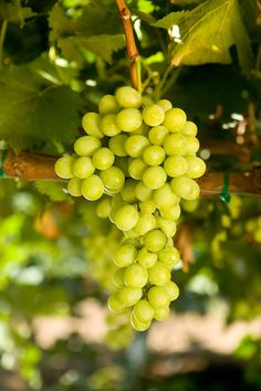 1000 images about table grape varieties on pinterest green grapes nurseries and vines - Seedless grape cultivars ...