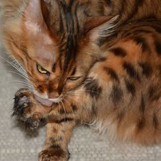 Elsa: After playing with TheFish my paws need a thorough cleaning. Wish you a neat and tidy Friday furriends! Adventure Cat, Neat And Tidy, Bengal, Elsa, Friday, Lovers, Kitty, Cleaning, Cats