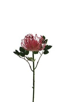 Scabiosa Pods, King Protea, Instagram Sign, Ikebana, Pin Cushions, Flower Crown, Artificial Flowers, Bonsai, Plants