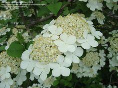 Double file Viburnum...I love these flowers.