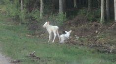 Zeldzame witte elandentweeling op camera vastgelegd