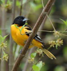 The Baltimore oriole is a small member of the blackbird family. Description from wildlife.ohiodnr.gov. I searched for this on bing.com/images