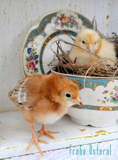 little chicks are so cute when they are little!