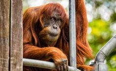 I'd be more than grumpy if I'd been imprisoned in a zoo all my life.A primate at Perth Zoo is declared the oldest living Sumatran orangutan in the world. Funny Black Memes, Funny Kid Memes, Funny Memes Images, Funny Animal Memes, Funny Photos, Perth, 9gag Memes, Sumatran Orangutan, Funny Instagram Memes