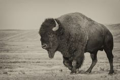 bison, big bad bull :-)