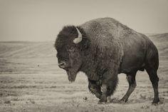 bison, big bad bull :-)
