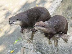On World Otter Day, meet Cincinnati Zoo otters Sugar and Wesley