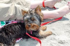 Roxie is so happy to be in the OBX! www.midgettrealty.com
