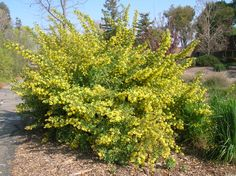 golden currant bush - Google Search