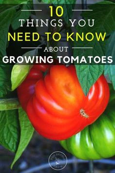 Growing tomatoes can be challenging. Learn these ten things about tomatoes and be a better gardener.