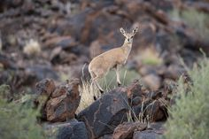 Ian.Kate.Bruce's Wildlife posted a photo:  Surefooted the Klipspringer as the name suggests (klip is Afrikaans for rock) is a fast and agile antelope of the rocky Kalahari. Characteristically they pose on top of the rocks their four hooves together surveying the countryside before leaping and bouncing from boulder to boulder.  The sole member of its genus, Oreotragus, it occupies rocky habitats in the east and south of Africa from Sudan and Eritrea to South Africa where we caught up with…
