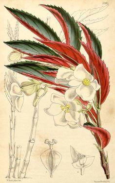 41402 Begonia kunthiana Walp. / Curtis's Botanical Magazine, vol. 87 [ser. 3, vol. 17]: t. 5284 (1861) [W.H. Fitch]