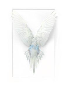 14×18 Shell Parakeet – White | Pheromone Gallery – Specimen Artwork, Retail
