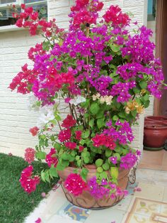 Multicolored Bougainvillea