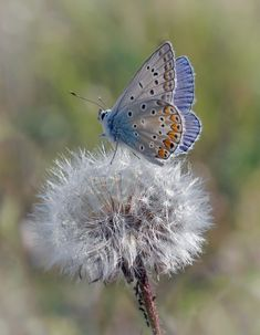 Small blue butterfly (unknown species) perches on a flower gone to seed.