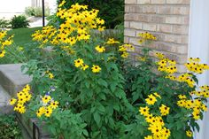 Drought tolerant Rudbeckia triloba. My kind of flowering plant.