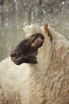 Clun Forest Sheep via British Wool Farm Animals, Animals And Pets, Cute Animals, Animals Images, Sheep Art, Sheep Wool, Sheep Paintings, Sheep Breeds, Sheep And Lamb
