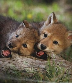 Wolf Pups Gnawing on a Fallen Tree - Baby Wolves Cute Baby Animals, Animals And Pets, Funny Animals, Strange Animals, Animal Babies, Wolf Pictures, Animal Pictures, Beautiful Creatures, Animals Beautiful
