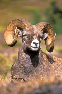 Rocky Mountain bighorn ram in the Canadian Rocky Mountains. Jasper National Park, Alberta, Canada.  Photo: Jerry Mercier via Flickr