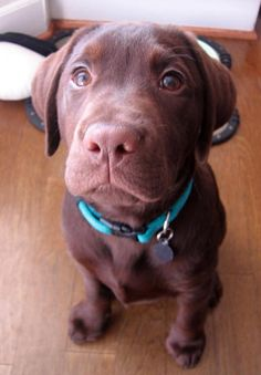 Chocolate Labrador Retriever | Chocolate Labrador Retriever | Dog Breeds Index