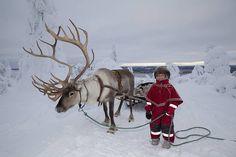 Der wohl bekannteste Vertreter der Tierwelt Lapplands und Wahrzeichen der Landschaft ist das Rentier. In Lappland gibt es über 200.000 Exemplare zu bestaunen.