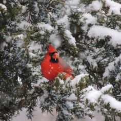 Cardinal in the snow storm...