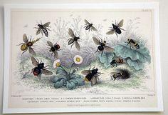 antique bee print