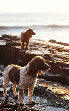 Springer Spaniel and Irish Setter, if I know my dog breeds Pet Dogs, Dogs And Puppies, Dog Cat, Doggies, Gilda Radner, Golden Retrievers, Animals Beautiful, Cute Animals, English Springer Spaniel