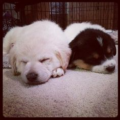 My Christmas puppy Finley (on the right) snoozing with her sister Tory. #PuppyPlayDate ..Photo credit: iatraveler http://flic.kr/p/ixxtwA #rescuedog #dog #itsarescuedoglife