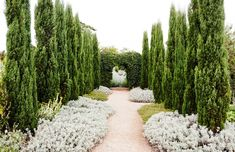 An avenue of pencil pines (Cupressus sempervirens 'Glauca') underplanted with Salvia 'Bee's Bliss' frame views into an the adjoining garden room.