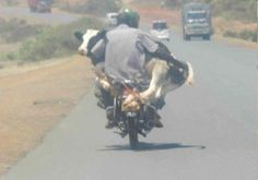 Riding A Bike While Holding A Cow ---- funny pictures hilarious jokes meme humor walmart fails. Jokes Photos, Funny Photos, Hilarious Pictures, Awkward Pictures, Funniest Photos, Bizarre, I Laughed, Funny Animals, Funny Jokes