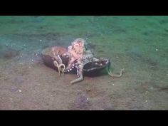 Octopus Walks Along Ocean Floor Carrying Coconuts Under His Arms (Uses empty shells for shelter/protection) - YouTube