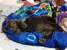 Russian Blue Cat for adoption in New York, New York - Precious